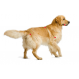 Royal canin Golden retriever Trockenfutter für Golden retriever