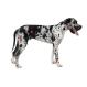 Royal canin Gran danes 12 kg. Trockenfutter für deutsche Doggen