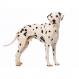 Royal canin Dalmata 12 kg.Trockenfutter für Dalmatiner